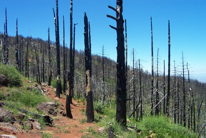 Burnt trees on Conejos Trail