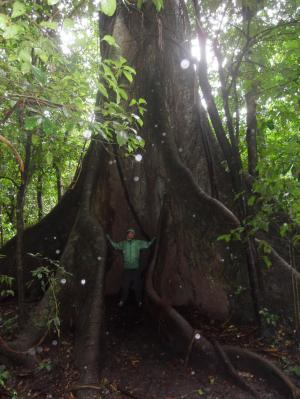 Huge ceiba tree in Arenal rainforest