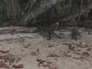 Racoons on the beach in Cahuita