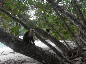 Monkey at the beach, Manuel Antonio