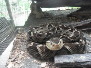Fer-de-lance snake at Jaguar Rescue Center