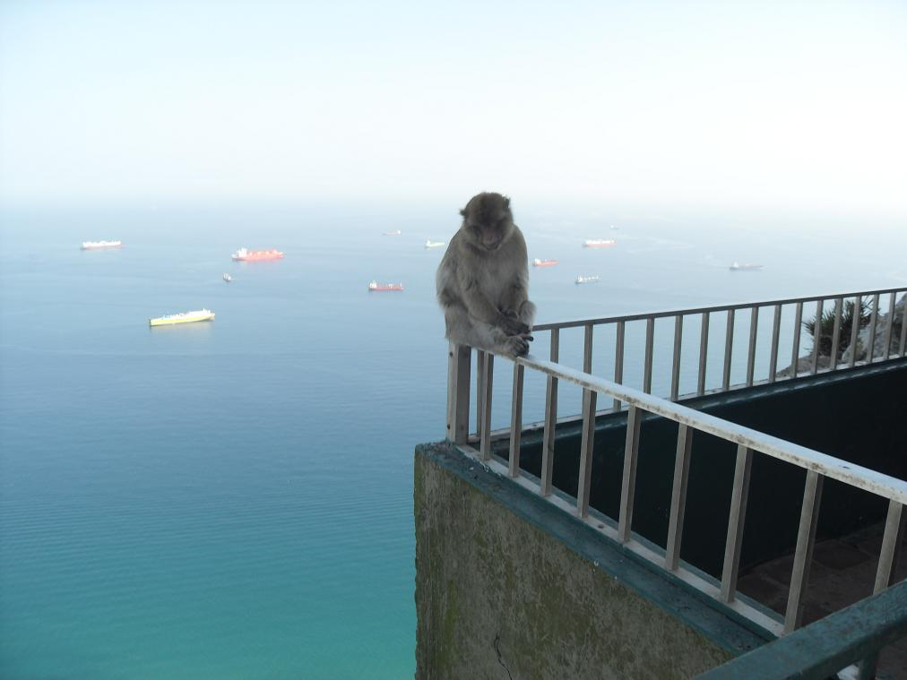 Barbary Macaque on railing.  Rock of Gibraltar