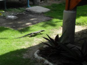 Some sort of lizard roaming thru the bungalows